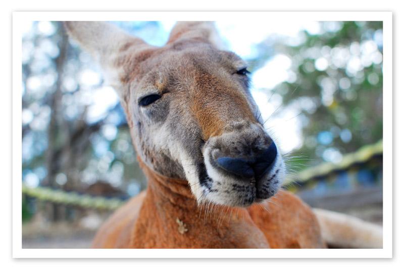 Foto di un canguro